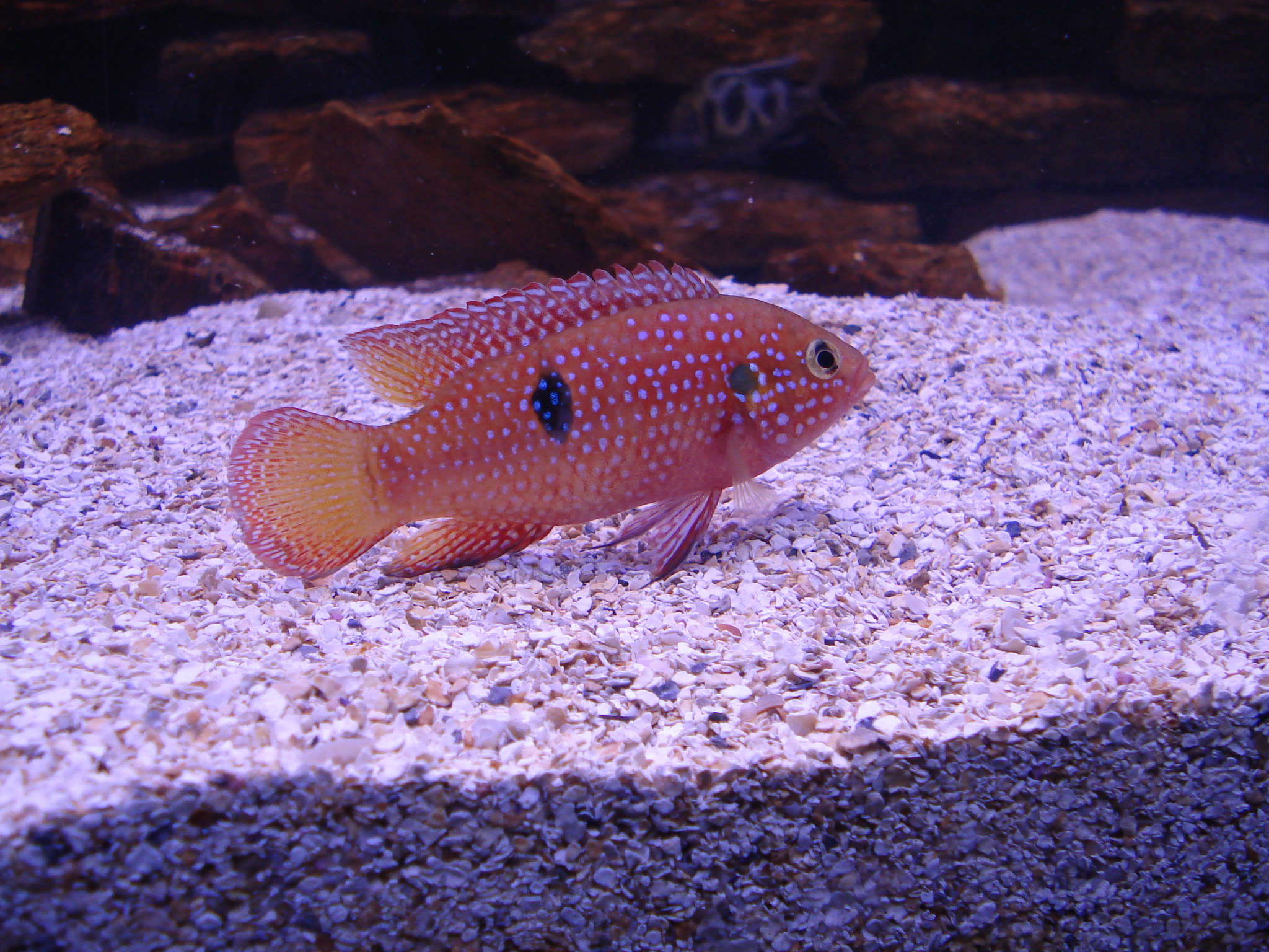 Freshwater jewel fish - The Jewel Cichlid Is A Feisty Cichlid From Africa